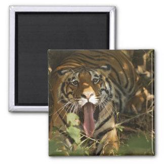 Bengal tiger resting, yawning square magnet