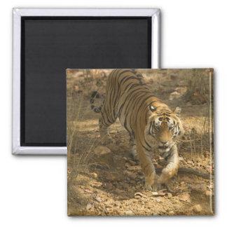 Bengal Tiger walking Magnet