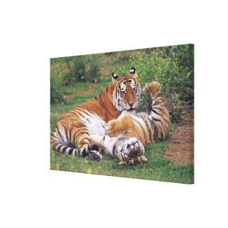 Bengal tigers playing canvas print