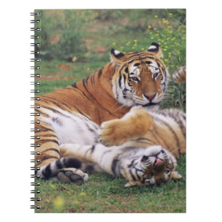 Bengal tigers playing notebook
