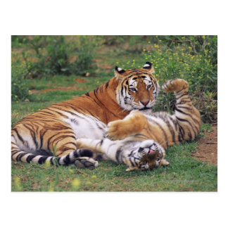 Bengal tigers playing postcard
