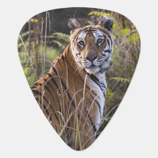 Bengal tigress in tall grass, trying to hunt, guitar pick