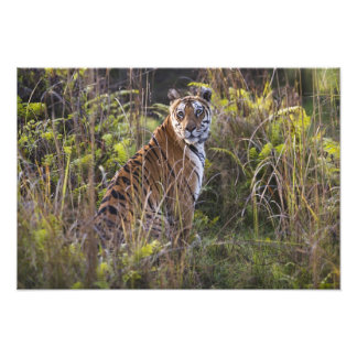 Bengal tigress in tall grass, trying to hunt, photo print