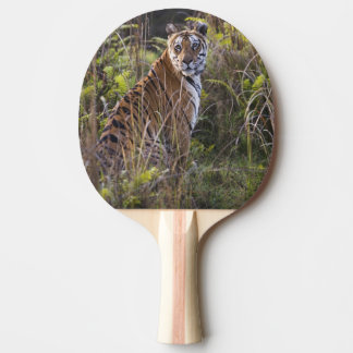 Bengal tigress in tall grass, trying to hunt, ping pong paddle