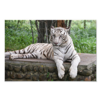Bengal white Tiger Photo