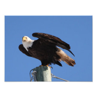 BEOUP Bald Eagle on Utility Pole Photo Print