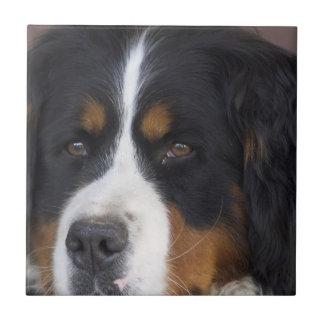 Berner Sennenhund Tile