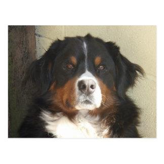 Bernese Dog Postcard