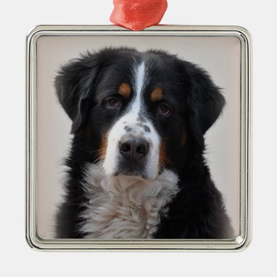 Bernese Mountain dog beautiful photo, gift Christmas Ornament