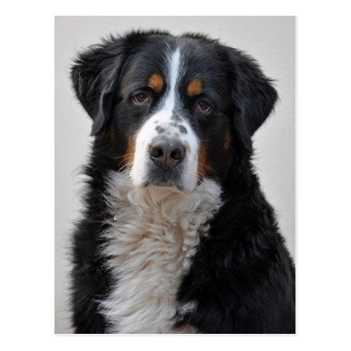 Bernese Mountain dog beautiful photo postcard