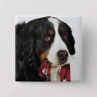 Bernese Mountain Dog (Berner Sennenhund) with 15 Cm Square Badge