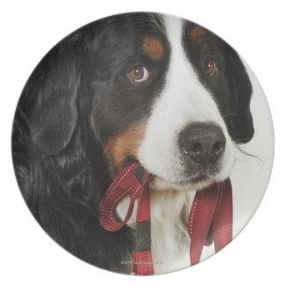 Bernese Mountain Dog (Berner Sennenhund) with Plate