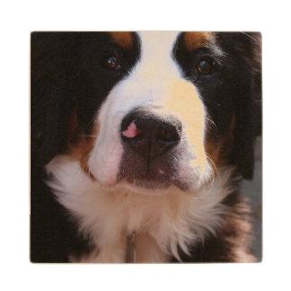 Bernese Mountain Dog Breed Maple Wood Coaster