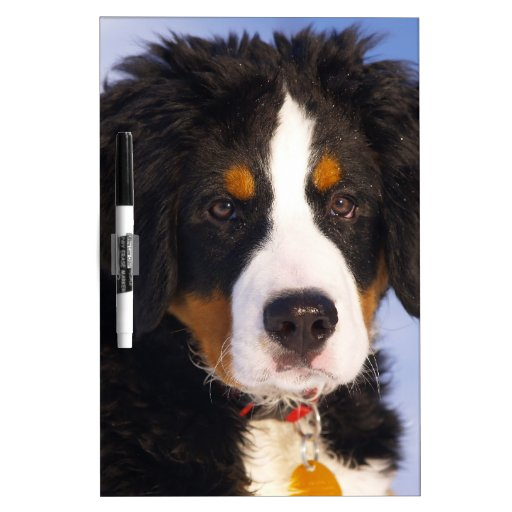 Bernese Mountain Dog - Cute Puppy Photo Dry-Erase Whiteboard