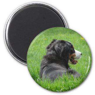 Bernese Mountain Dog Enjoys The Sun 6 Cm Round Magnet