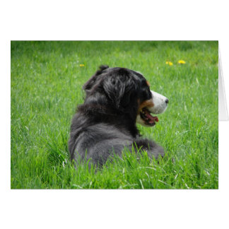 Bernese Mountain Dog Enjoys The Sun Greeting Card