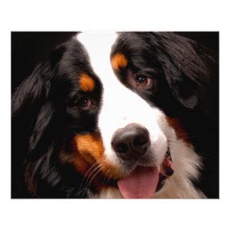 Bernese Mountain Dog 11.5 Cm X 14 Cm Flyer