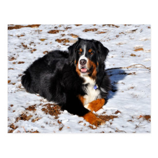 Bernese Mountain Dog playing in the snow Postcard