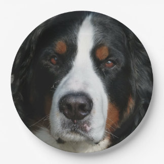 bernese mountain dog.png paper plate