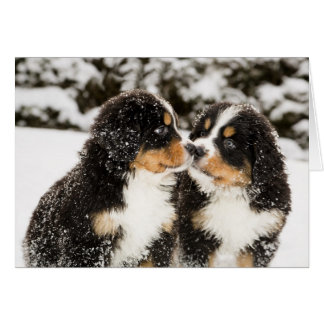 Bernese Mountain Dog Puppets Sniff Each Other Greeting Card
