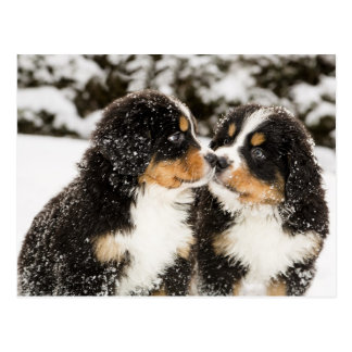 Bernese Mountain Dog Puppets Sniff Each Other Postcard