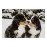 Bernese Mountain Dog Puppets Sniff Each Other Poster