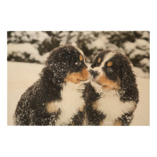 Bernese Mountain Dog Puppets Sniff Each Other Wood Print