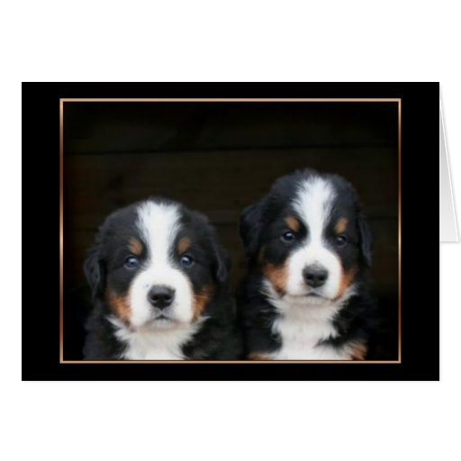 Bernese mountain dog puppies greeting card