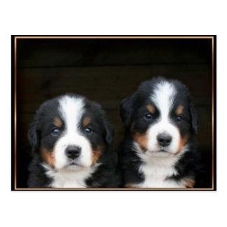 Bernese mountain dog puppies postcard