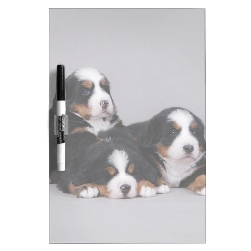 Bernese puppies dry erase whiteboard