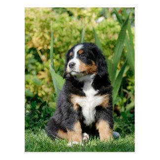 Bernese puppy postcard