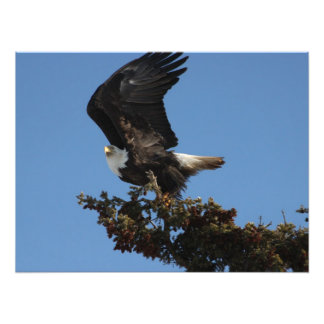 BERTF Bald Eagle Ready to Flee Photo