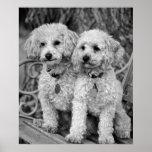 Best Friends Poodles Poster