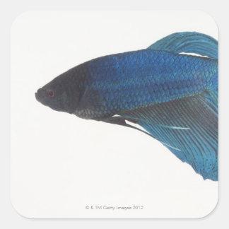Betta Fish or Male Blue Siamese Fighting Fish Square Sticker