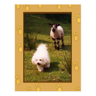 Bichon Frise and Lamb Post Card
