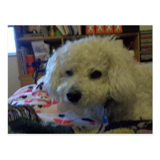 Bichon Frise dog Post Card