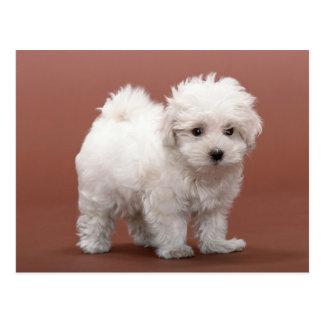 Bichon Frise Puppy Cards, Postage, Gifts Postcard
