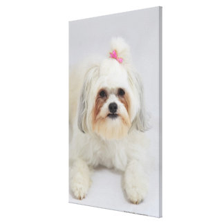 bichon frise with a pink bow in it's hair gallery wrap canvas