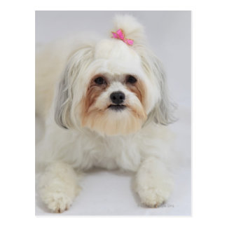 bichon frise with a pink bow in it's hair postcard
