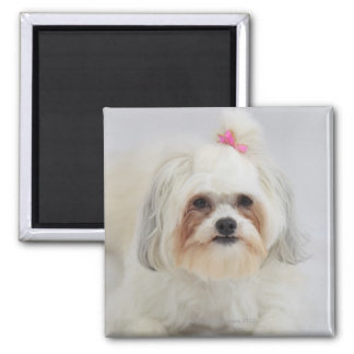 bichon frise with a pink bow in it's hair square magnet
