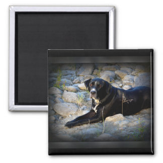 Big Black Pitbull Lab Cross Square Magnet