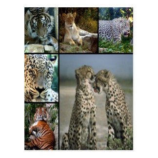 Big Cat collage Postcard