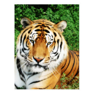 Big Cats - 12 Postcard
