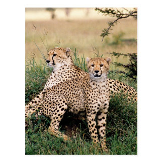 Big Cats - 13 Postcard