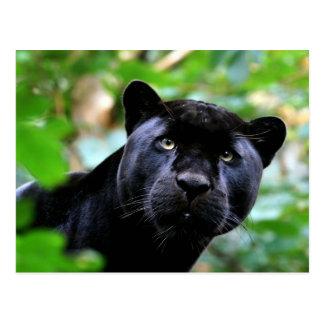 Big Cats - 4 Postcard