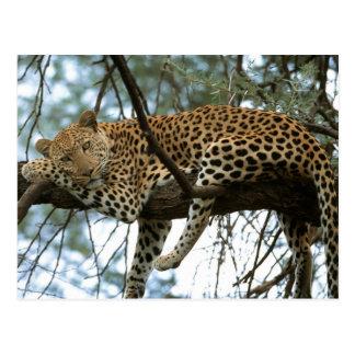 Big Cats - 7 Postcard