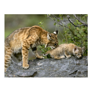 Big Cats - 9 Postcard
