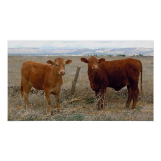 Big Cow Eyes - Red Cattle - Western Poster