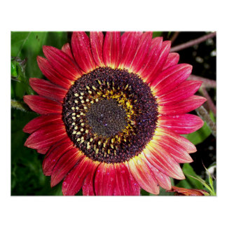 Big Crimson Sunflower Poster