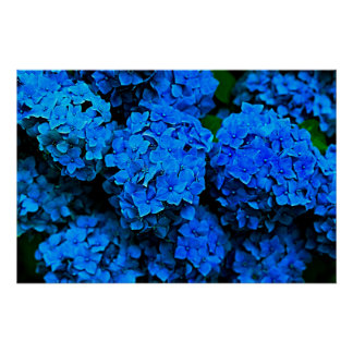 Big Dark Blue Flowers Hydrangea Photography Poster